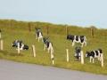 Farmworld Fehmarn Juni 2016 - Kuh Weide