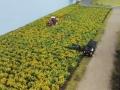 Farmworld Fehmarn Juni 2016 - Maisfeld