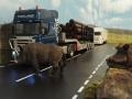 Wildschwein dicht vor Siku LKW