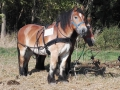 Sierhagen 2016 - Bundesentscheid Pflügen - Pferde